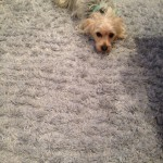 Los Gatos-Dog-carpet-clean